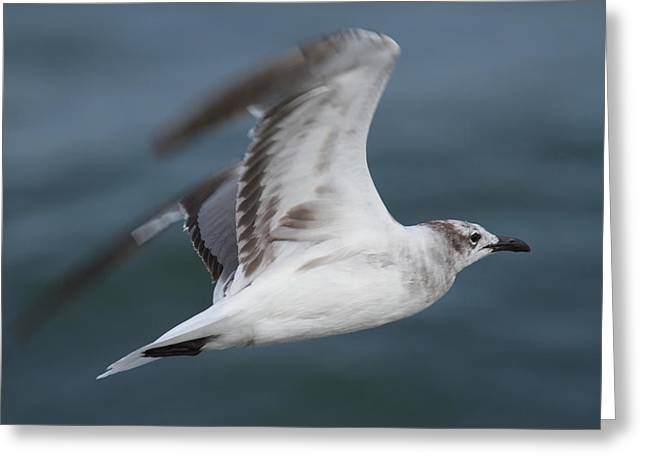 Seagull In Flight 12 Greeting Card