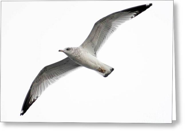 Seagull In Flight Greeting Card by Anita Oakley
