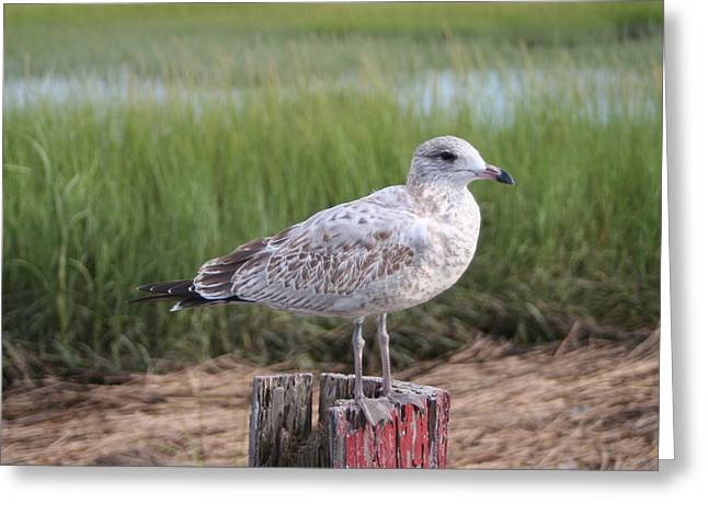Greeting Card featuring the photograph Seagull by Karen Silvestri