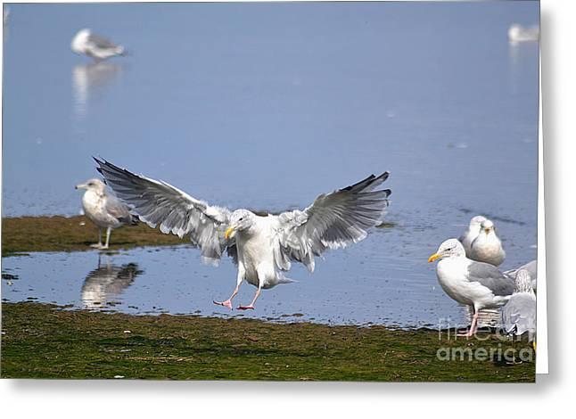 Seagull Landing Greeting Card by Marsha Schorer