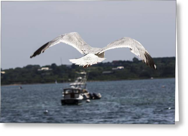 Seagull Greeting Card by Michel DesRoches