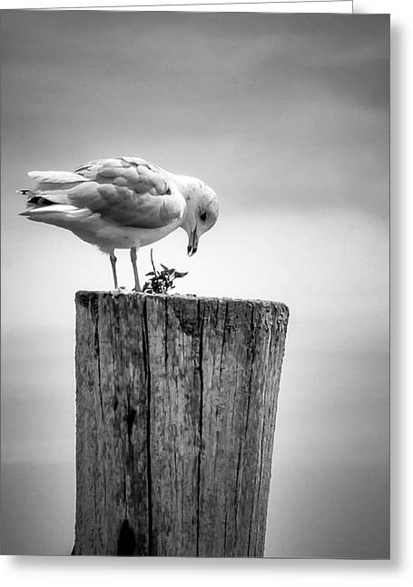 Seagull On Pier  Greeting Card by Brian Caldwell