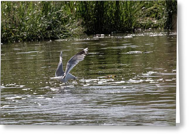 Greeting Card featuring the photograph Seagull Searching Food by Leif Sohlman