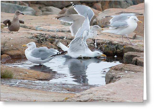 Seagull Swimming Pool - Acadia Greeting Card