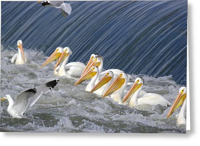 Seagulls Intrude Upon The Pelican Social Gathering Greeting Card