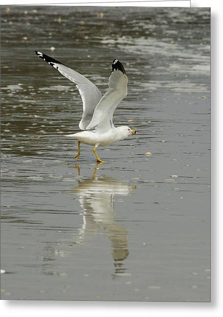 Seagulls Takeoff Greeting Card by Kathy Gibbons