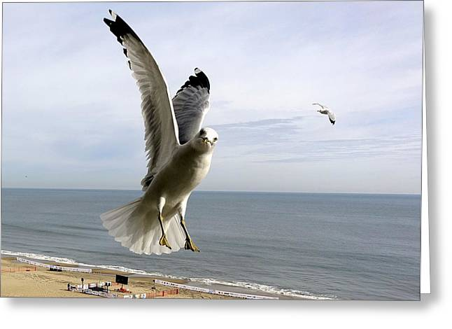 Inquisitive Seagull Greeting Card