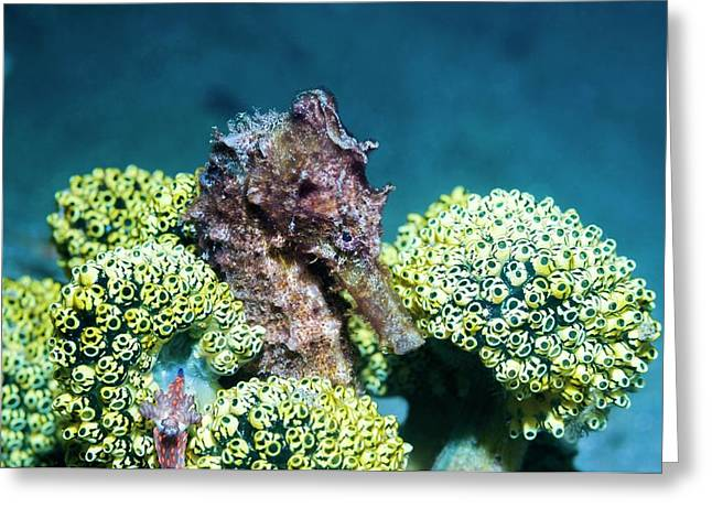 Seahorse With Sea Squirts Greeting Card