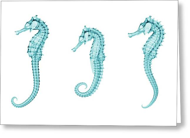 Seahorses Greeting Card by Brendan Fitzpatrick