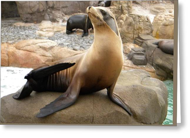 Greeting Card featuring the photograph Seal In The Spotlight by Amanda Eberly-Kudamik