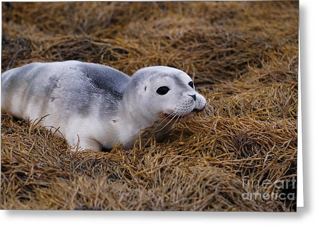 Seal Pup Greeting Card by DejaVu Designs