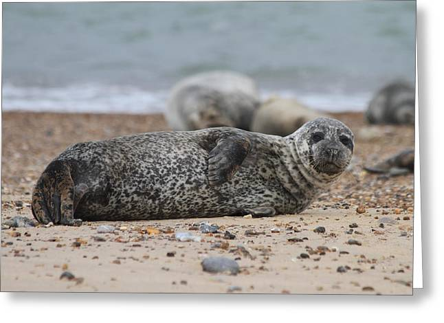 Seal Pup On Beach Greeting Card by Gordon Auld