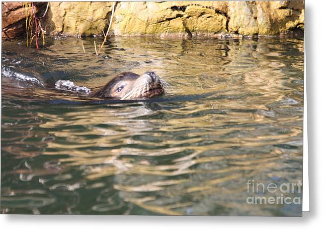 Sealion Coming Up For Air Greeting Card by John Telfer