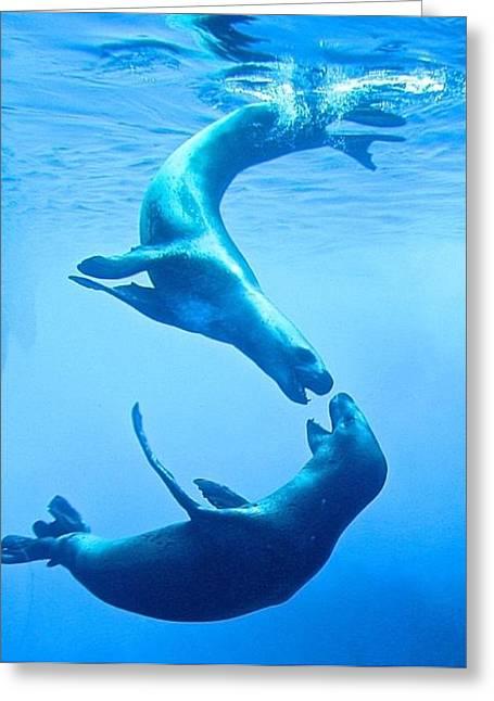 Seals At Play Greeting Card