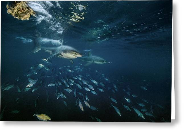 Searching For Seals, Two Great White Greeting Card by Brian Skerry