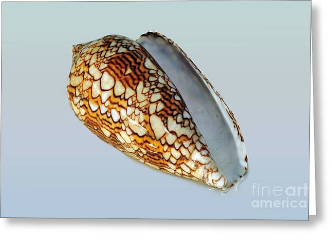 Seashell Wall Art 5  - Cone Snail Greeting Card by Kaye Menner