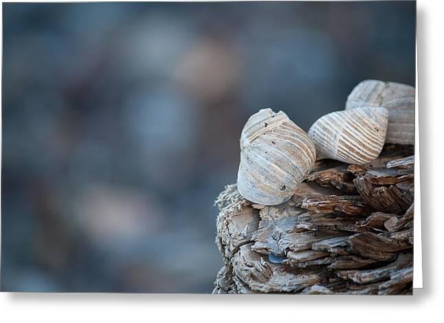 Seashells On Driftwood  Greeting Card by Brian Boudreau