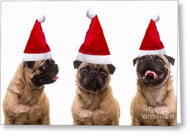 Seasons Greetings Christmas Caroling Pug Dogs Wearing Santa Claus Hats Greeting Card by Edward Fielding