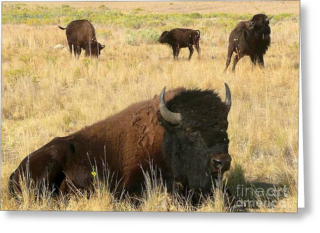 Seated Buffalo Greeting Card by Brian Shaw