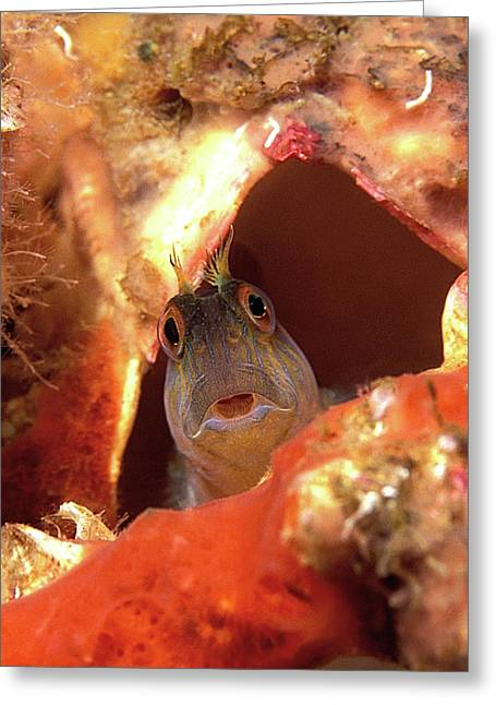 Seaweed Blenny Greeting Card