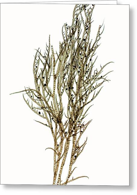 Seaweed (ectocarpus Confervoides) Greeting Card by Dr Keith Wheeler