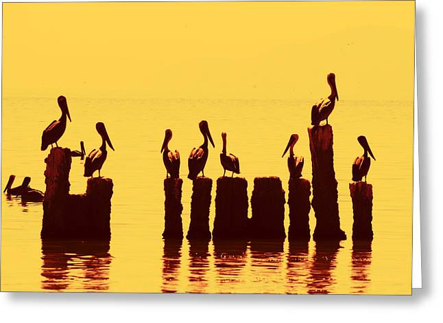 Secret Life Of Pelicans Greeting Card