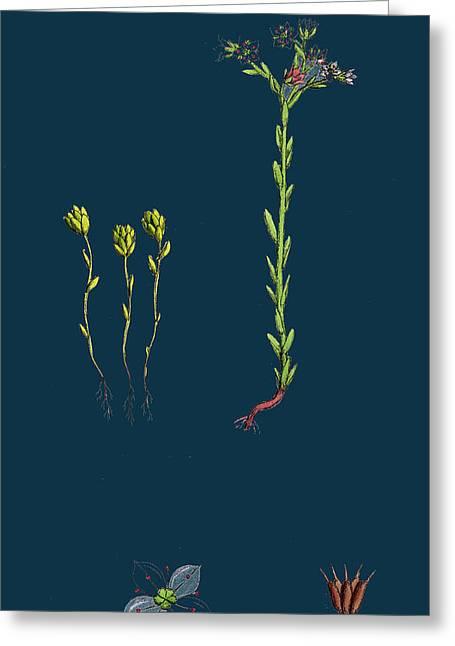 Sedum Villosum Hairy Stone-crop Greeting Card by English School