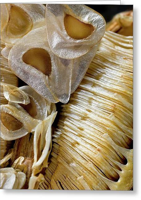 Seed Capsule Of Cardiocrinum Giganteum Greeting Card