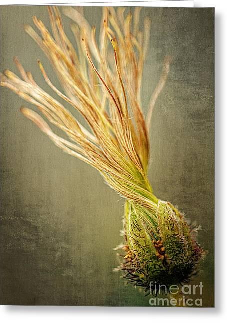 Seed Head Of Dryas Octopetala Greeting Card by Heiko Koehrer-Wagner