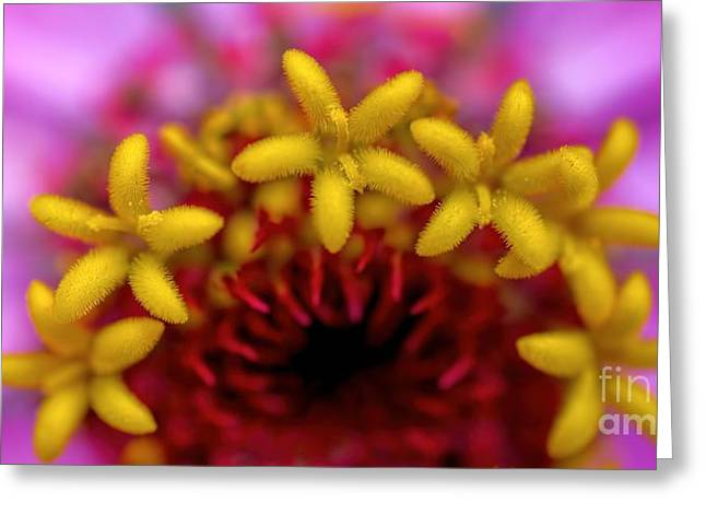 Seeing Stars - Zinnia Greeting Card by Henry Kowalski