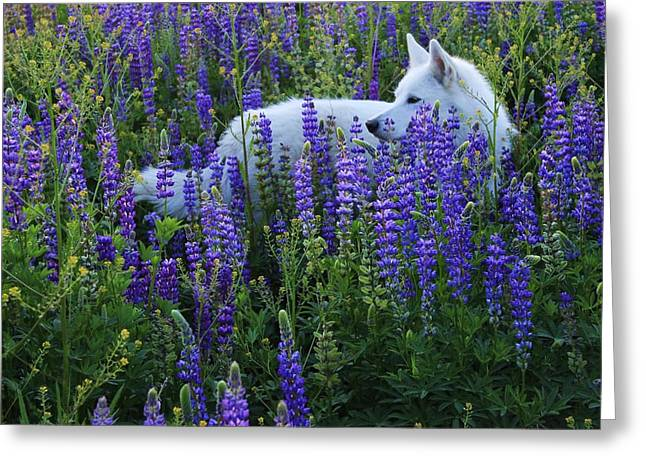 Sekani In Lupine Greeting Card by Sean Sarsfield