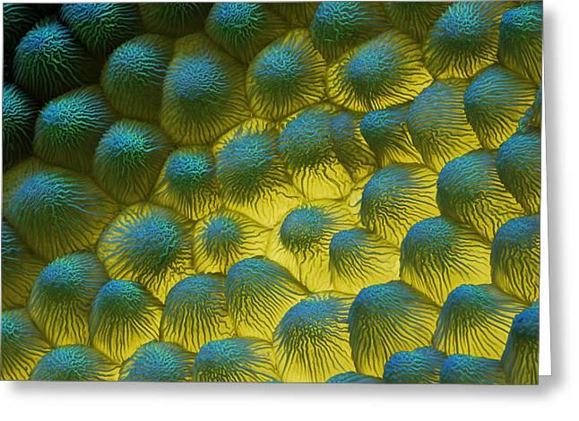 Sem Of Rapeseed Flower Greeting Card by Eye of Science