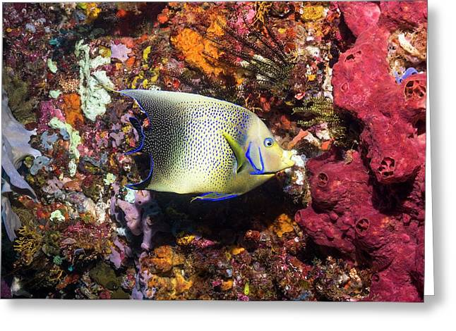 Semicircle Angelfish On A Reef Greeting Card by Georgette Douwma