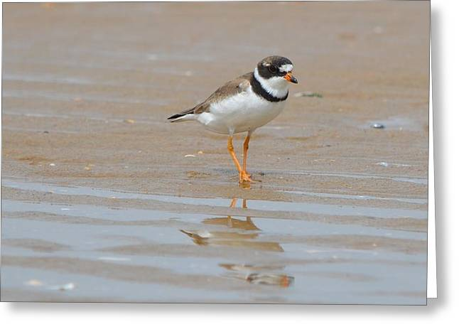 Semipalmated Plover Greeting Card by James Petersen