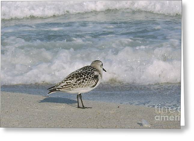 Semiplated Sandpiper Greeting Card