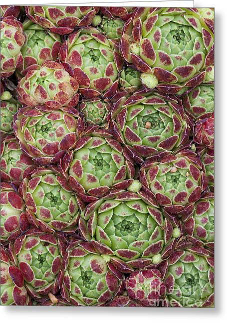 Sempervivum Atlanticum Pattern Greeting Card
