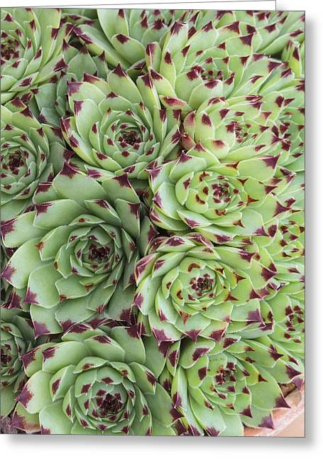 Sempervivum Calacreum Greeting Card by Science Photo Library