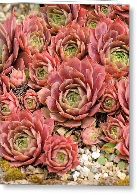 Sempervivum 'kramer's Spinrad' Greeting Card