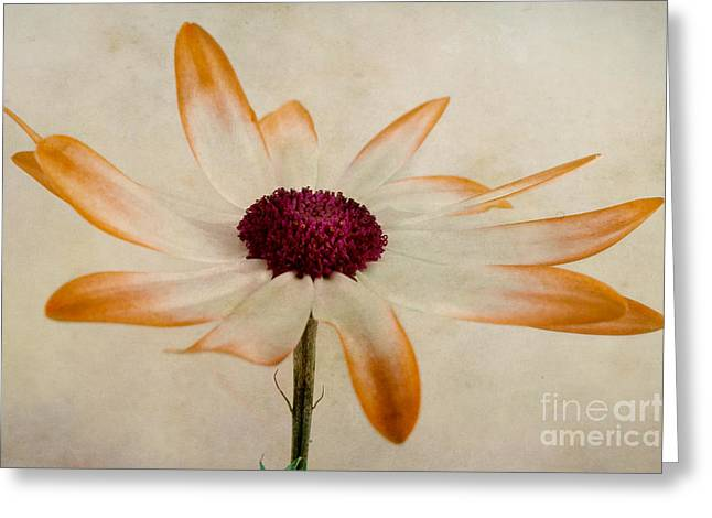 Senetti Pericallis Orange Tip Greeting Card by John Edwards
