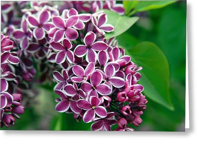 Sensation Lilac Greeting Card by Richard Engelbrecht