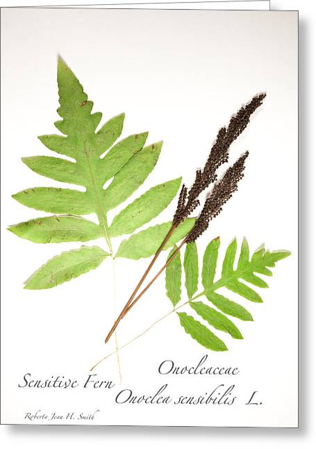Sensitive Fern  Greeting Card