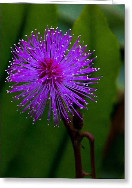 Sensitive Plant Greeting Card by Shaleen Holmes