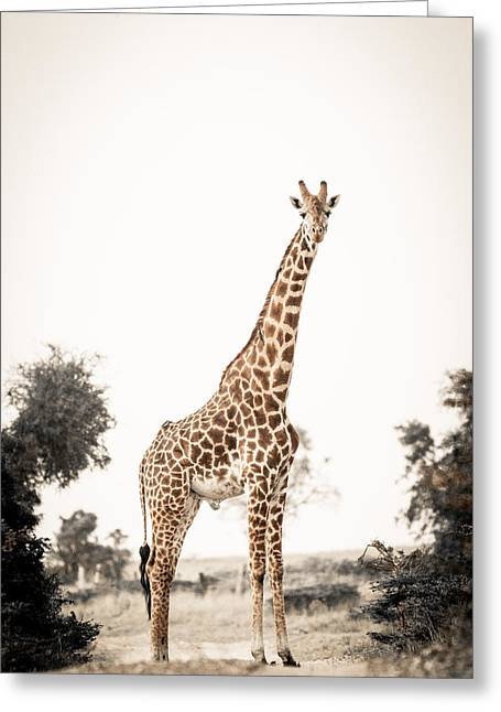 Sentinal Giraffe Greeting Card