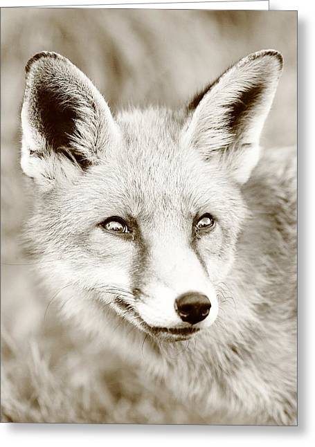 Sepia Fox Greeting Card by Victoria Hillman