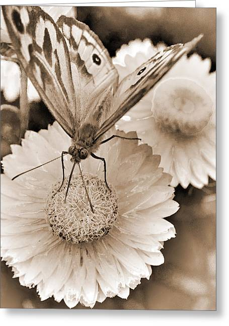 Sepia Monarch Butterfly On Paper Daisy Greeting Card by Patrick OConnell
