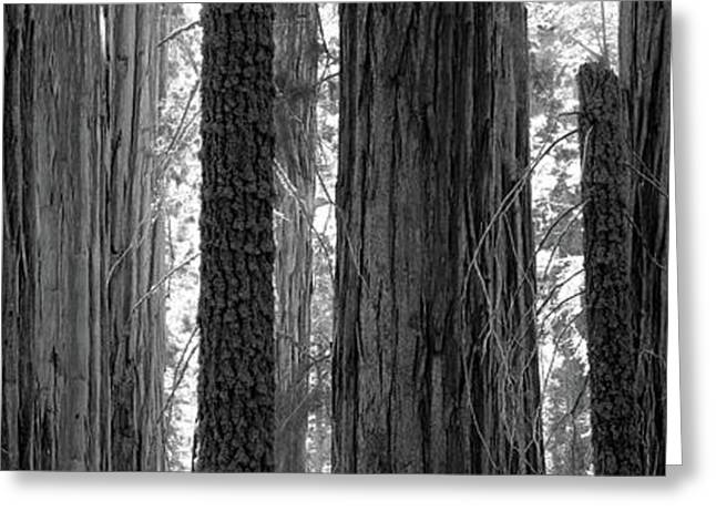 Sequoia Grove Sequoia National Park Greeting Card