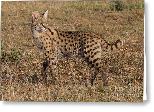 Serval Cat 3 Greeting Card