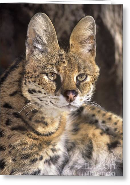 Serval Portrait Wildlife Rescue Greeting Card