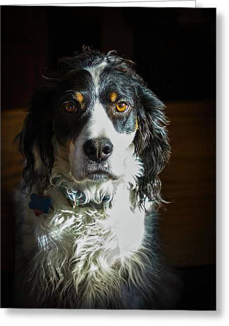 Setter In Contrast Greeting Card by Andrew Lawlor