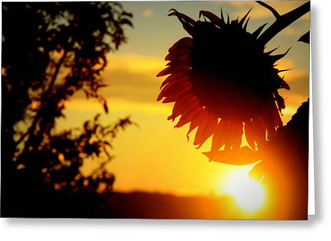Greeting Card featuring the photograph Setting Sunflower by Aurelio Zucco